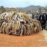 در آفریقا سالانه حدود سی هزار فیل برای فروش عاجشان کشته میشوند