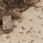 در آمریکا ۸۵ نفر از گزیدگی مورچه قرمز و پیامدهای آن کشته شدند.حمله مورچه های آتشین در استرالیا