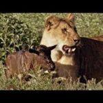 دو ویدئو جالب از طبیعت از رفتار حیوانات گرسنه در برخورد با بچه های حیواناتی که غذا محسوب می شوند