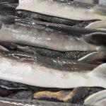 ذخایر ماهیان خاویاری خزر در صورت ادامه وضع موجود تا ۸ سال دیگر به صفر خواهد رسید
